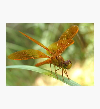 Dragonfly ~ Mexican Amberwing (Male) Photographic Print