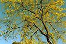 Golden Autumn Tree by NatureGreeting Cards ©ccwri