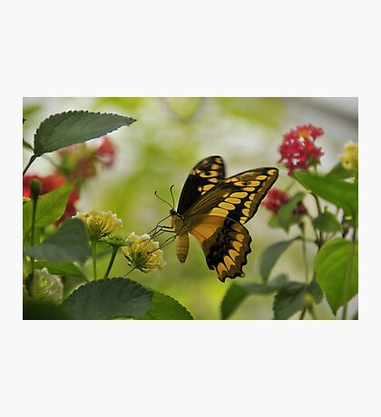 Thoa Swallowtail Photographic Print