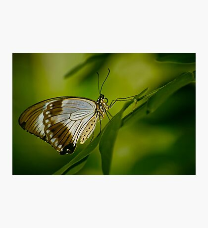 Mocker Swallowtail Photographic Print