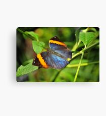 Indian Leaf Wing Canvas Print