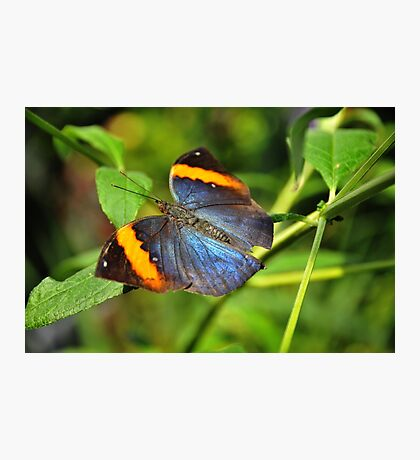 Indian Leaf Wing Photographic Print
