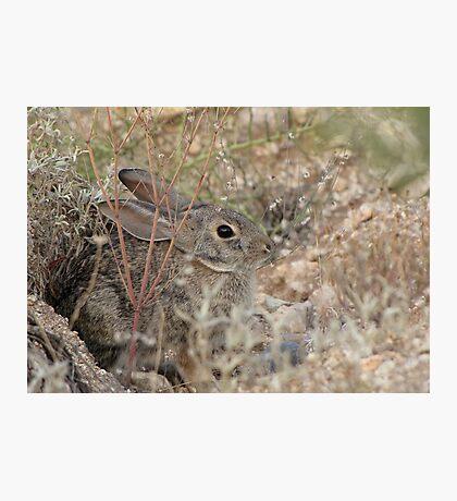 Desert Cottontail ~ A.K.A. Audubon's Cottontail Photographic Print