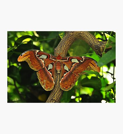 Atlas Moth Photographic Print