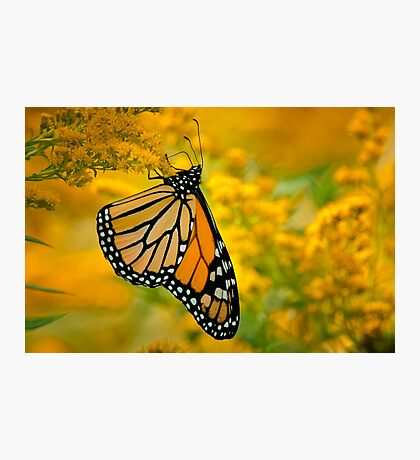 Monarch Butterfly on Goldenrod Photographic Print