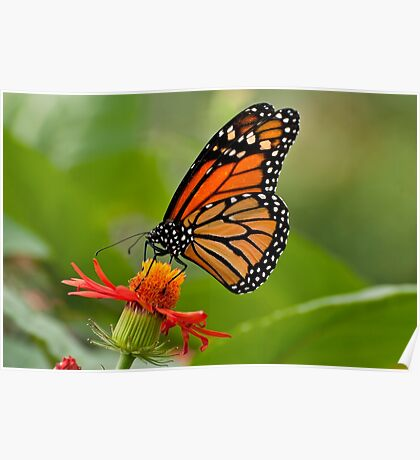 Monarch Butterfly - 8 Poster
