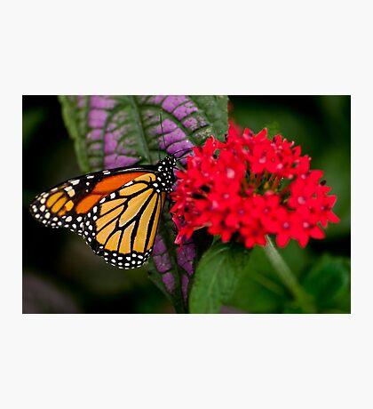 Monarch Butterfly - 10 Photographic Print