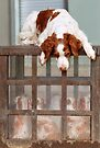 Bella and The Spaniels by Helen Green
