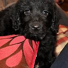 Mini Lily Labradoodle Do by ApeArt