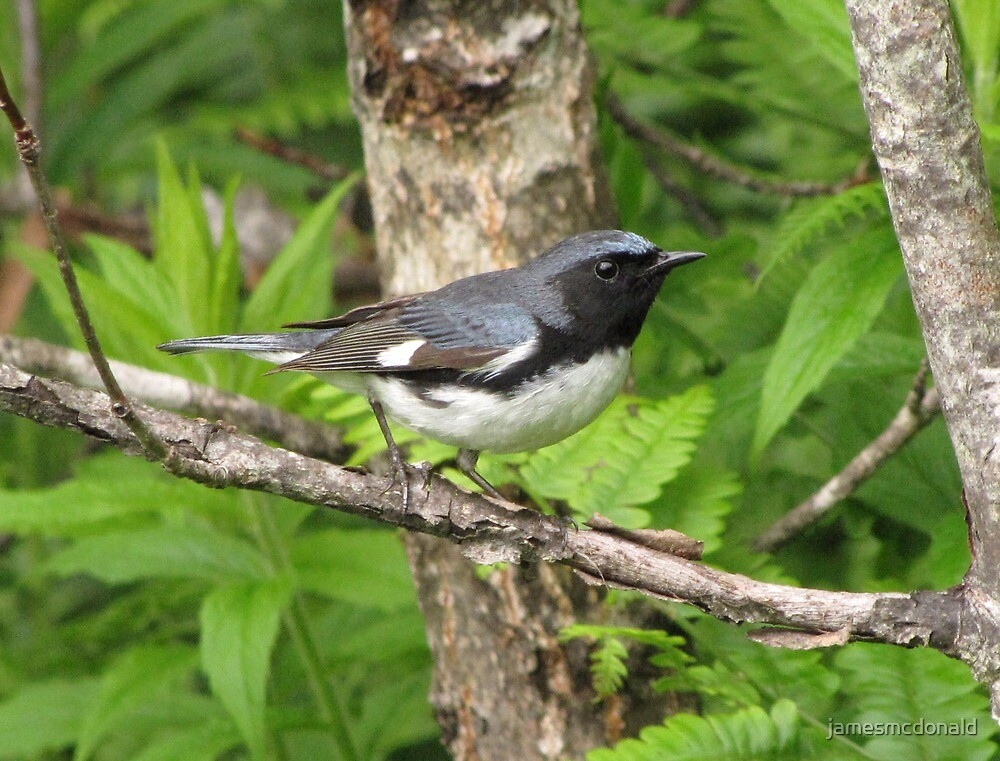 black throated blue warbler by jamesmcdonald