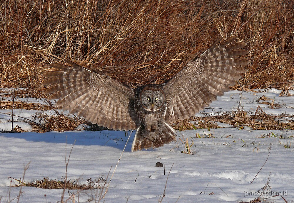 great grey owl by jamesmcdonald