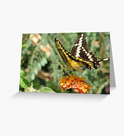 Butterfly ~ Giant Swallowtail Greeting Card