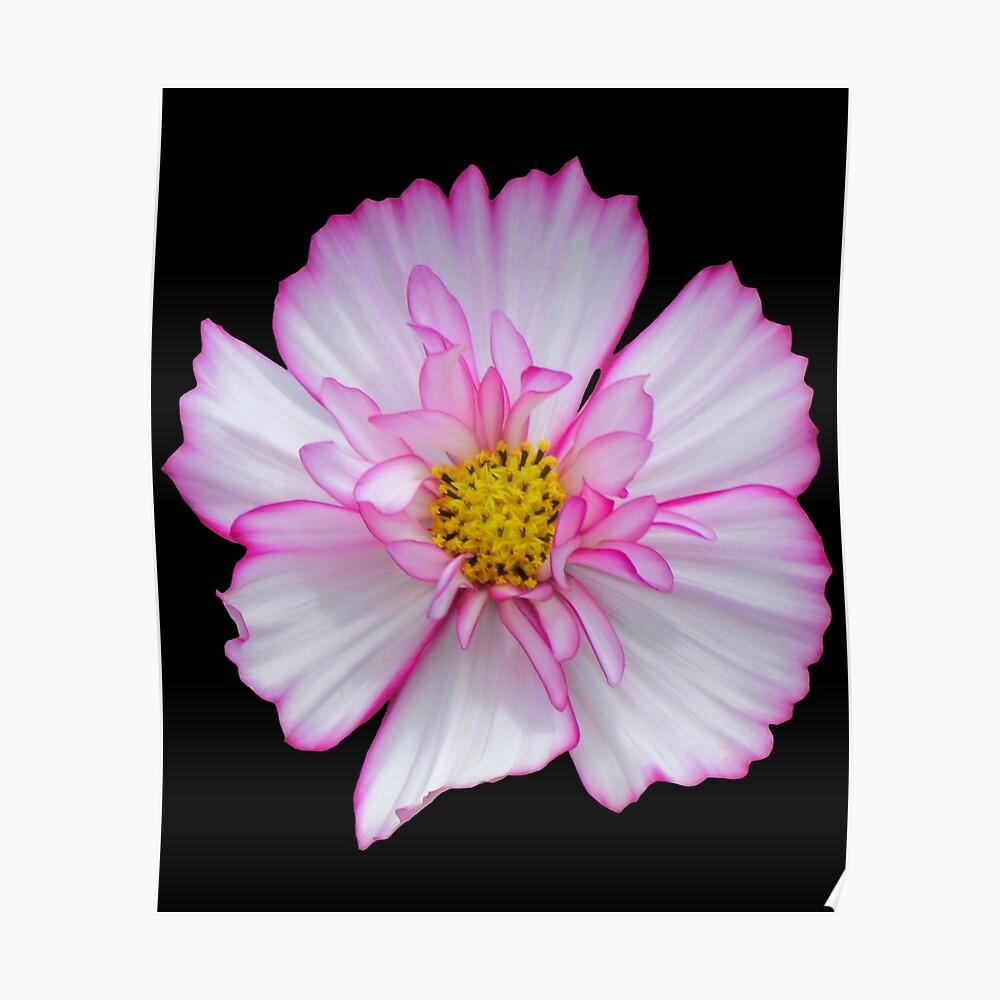 Blume in pink & weiß, Blumen, Blüte, Garten, Natur Poster
