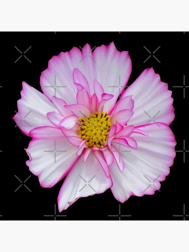Blume in pink & weiß, Blumen, Blüte, Garten, Natur von rhnaturestyles