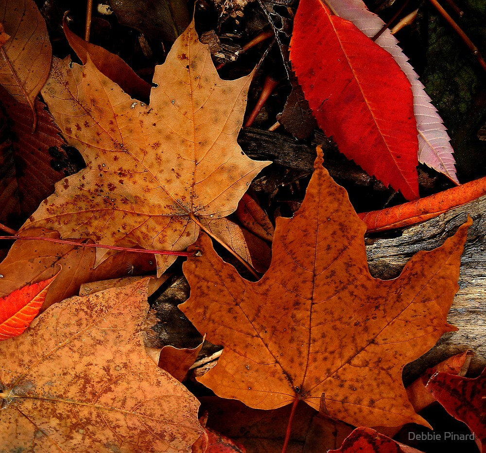 Maple Leaves - Dunrobin by Debbie Pinard