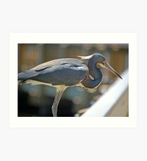 Beautiful Tri-Color Heron Art Print