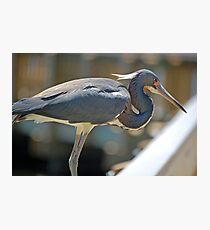 Beautiful Tri-Color Heron Photographic Print