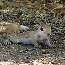 Round-tailed Ground Squirrel ~ Baby II by Kimberly Chadwick