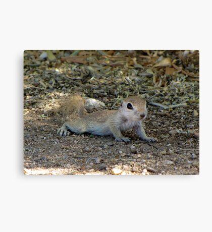 Round-tailed Ground Squirrel ~ Baby II Canvas Print