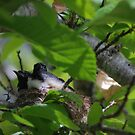 Baby Willie Wagtail chicks by adbetron