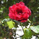 Rote Rose und Regentropfen von Kathryn Jones