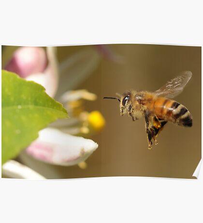 Lemon Blossom Bee-port Poster