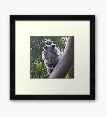 Koala's - Cape Otway, Victoria Framed Print