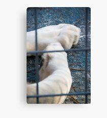 White Lion's paws - Zoo Arcachon Canvas Print