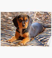 Gracie - A Beagle Cross King Charles Spaniel Poster