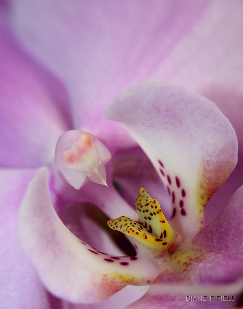 Orchid Lilac by DIANE  FIFIELD