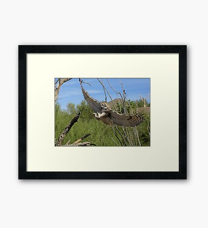 Great Horned Owl ~ 6 months old Framed Print