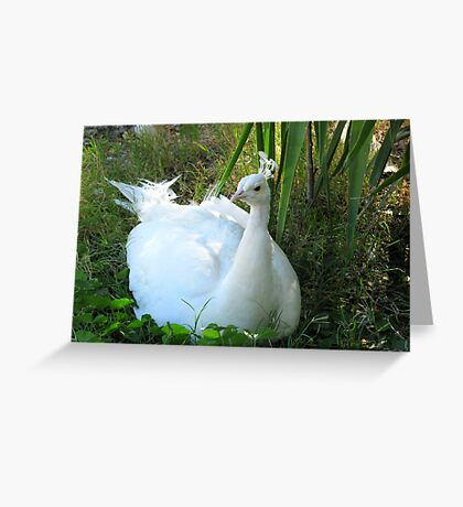 Indian Peafowl ~ Leucistic Male Greeting Card