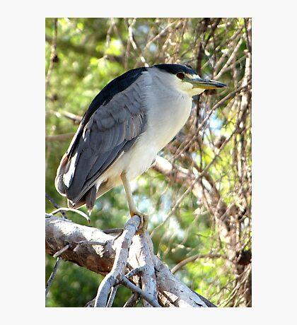 Black-crowned Night Heron ~ Adult Photographic Print