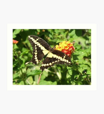 Butterfly ~ Giant Swallowtail Art Print
