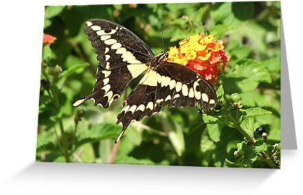 Butterfly ~ Giant Swallowtail by Kimberly Chadwick
