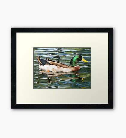 Mallard Duck ~ Drake Framed Print