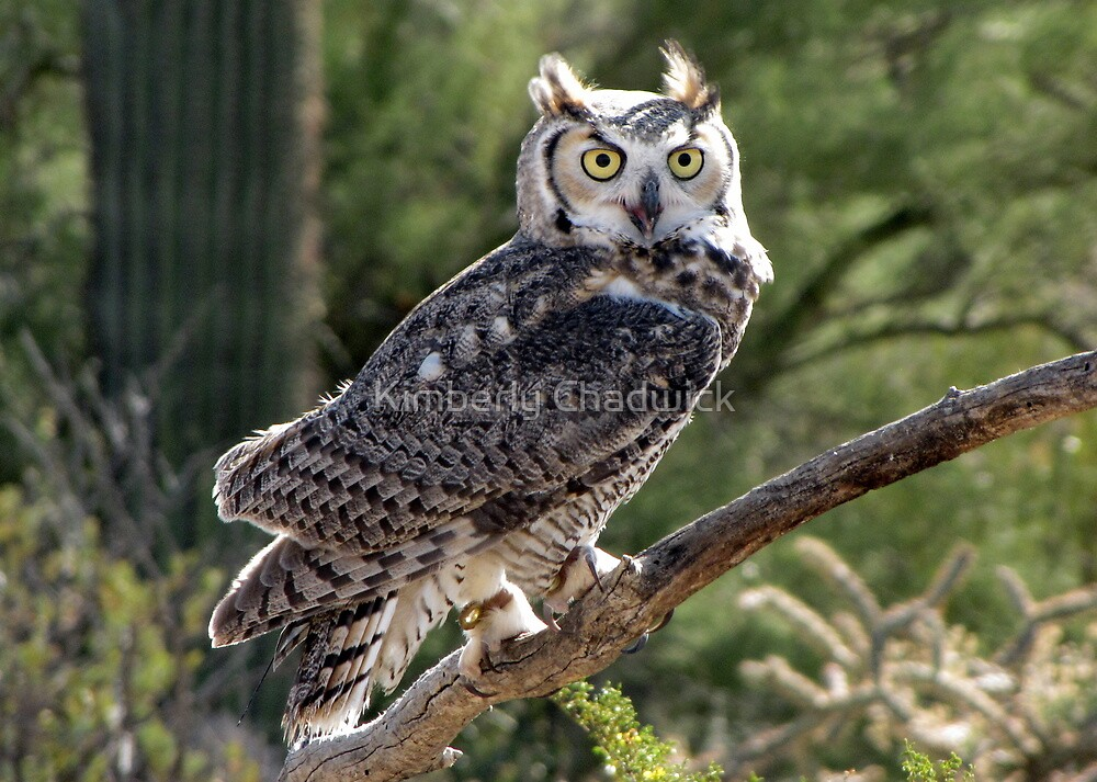 Great Horned Owl ~ Captive (6mos) by Kimberly Chadwick