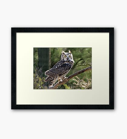 Great Horned Owl ~ Captive (6mos) Framed Print