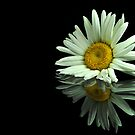 single Daisy by carlosporto