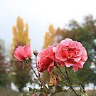 Roses by NinaJoan