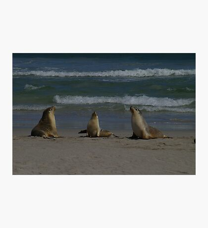 Australian Sea-lions Photographic Print
