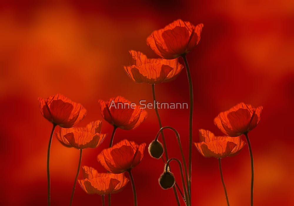 field of poppy by Anne Seltmann