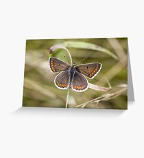 Brown Argus Greeting Card