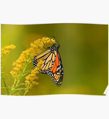 Monarch Butterfly - 22 Poster