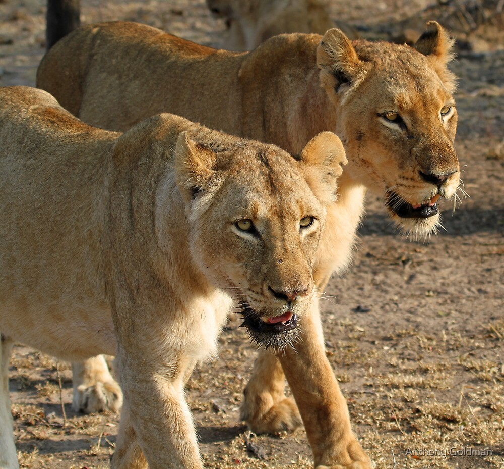Lionesses on a mission! by Anthony Goldman