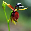 Large Duck-Orchid (Caleana major) - Morwell NP by Bev Pascoe