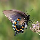 Black Swallowtail by SuddenJim