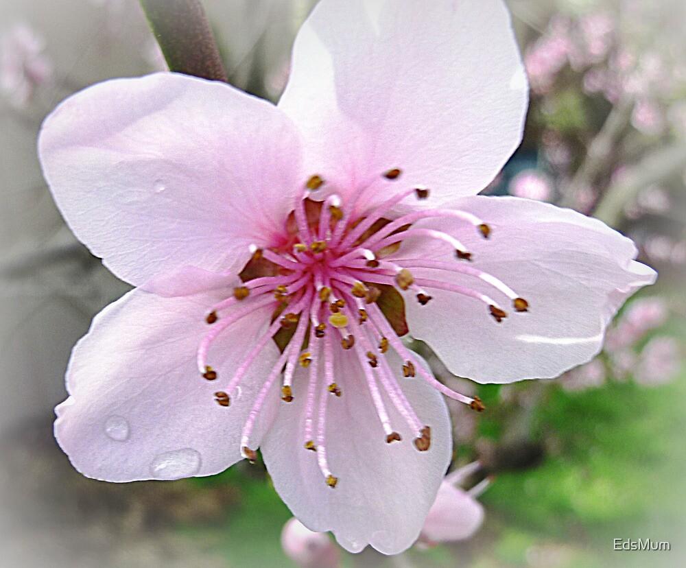 Nectarine Blossom - Sept. 2010 by EdsMum
