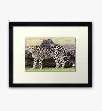 Female - King Cheetah Framed Print