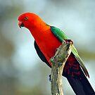 Male King Parrot In Our Yard. Brisbane, Queensland, Australia by Ralph de Zilva